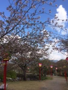【小城公園】桜の開花(落花盛ん)