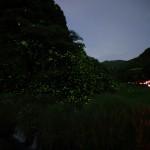 【祇園川】ホタル最新情報