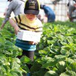 イチゴ狩り体験の報告【5/21】
