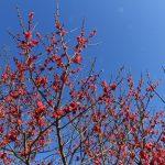 牛尾梅林の梅の開花情報