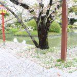 桜の開花情報【小城公園】