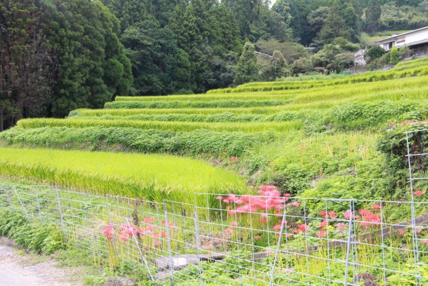 【江里山の彼岸花】開花状況