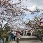 小城公園 桜【開花情報】
