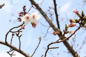 小城公園 桜【開花情報】2019