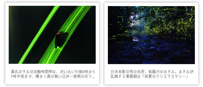 祇園川の蛍
