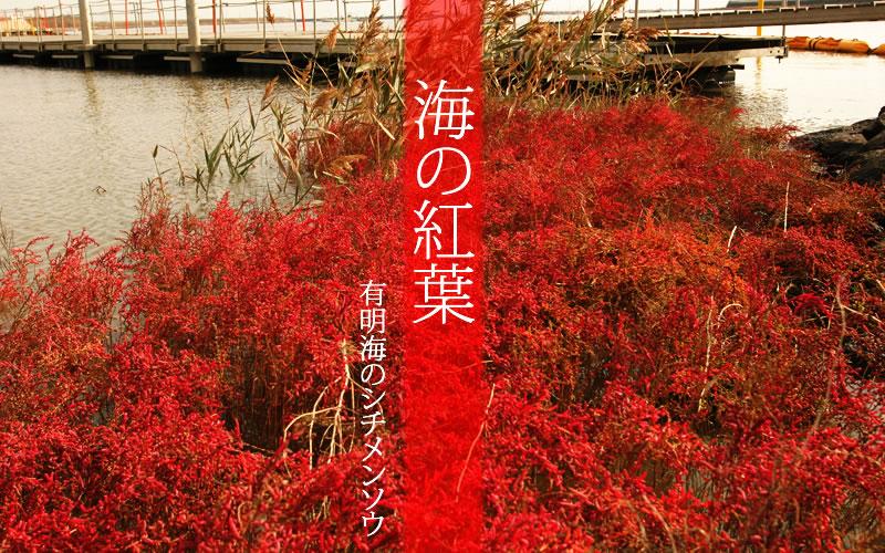 有明海のシチメンソウ(Shichimenso of the Ariake Sea)